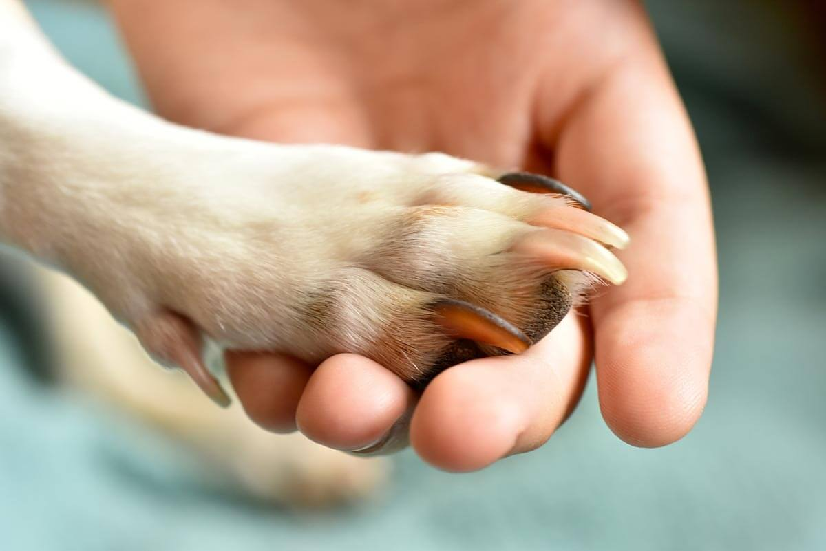 Dog paw being held